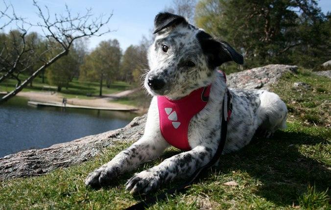Svart och vit hund