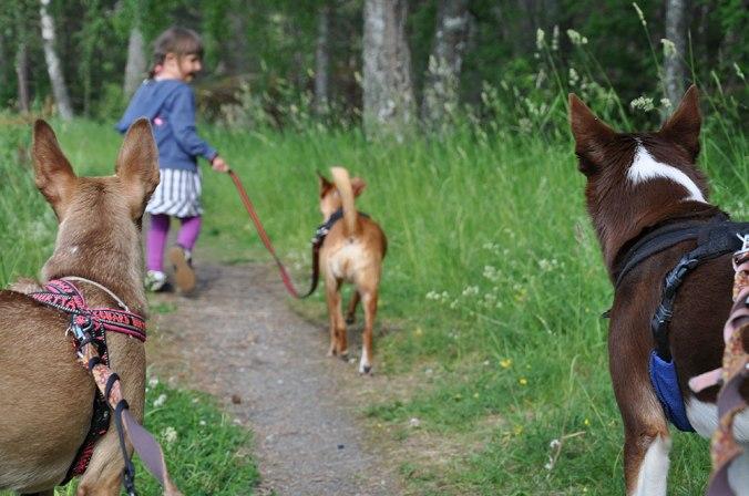 Barn på promenad med tre hundar.