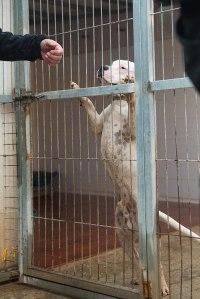 Bullhund på hägn