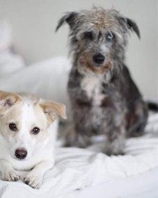 Två små hundar i en säng