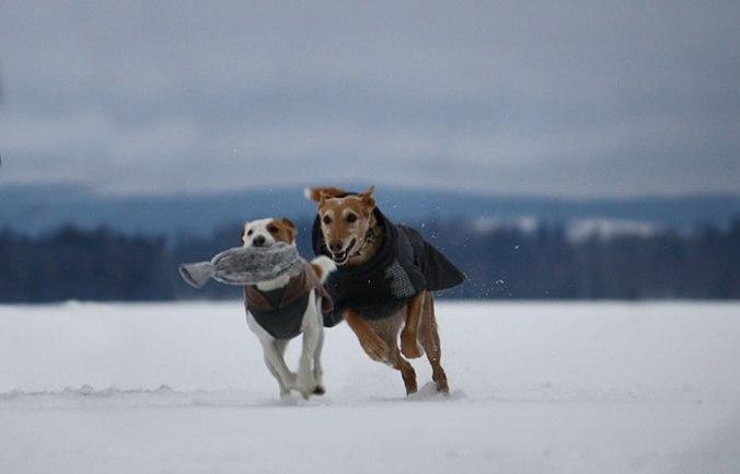 Två hundar som leker