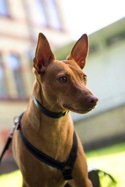Hunden Ringo