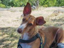Dahlia (Berta), adopterad 2017.